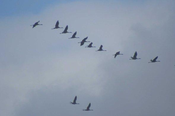 4dec05-la-janda-cranes-flying-in