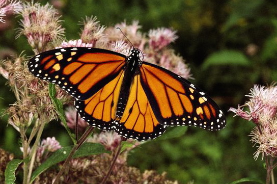 monarch-butterfly_630_600x450.jpg