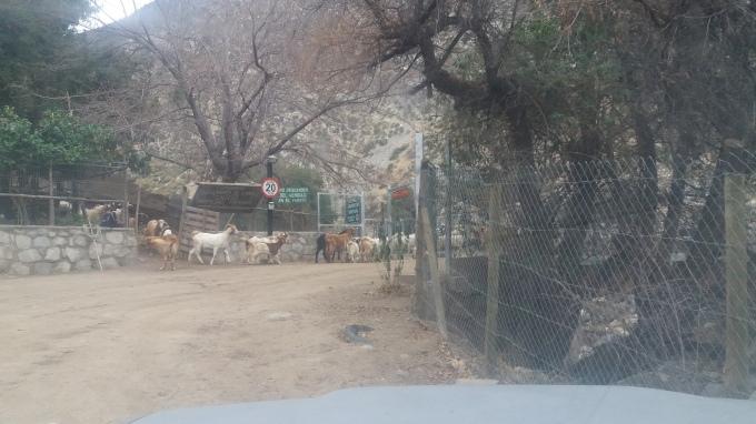 Goats heading up the Rio Colorado valley, at the entrance to Pimenton (1).jpg