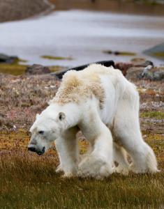 explore-through-the-lens-polar-bear