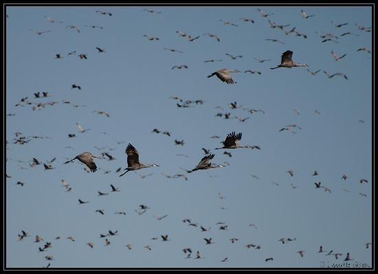 sandhill-cranes-flying.jpg