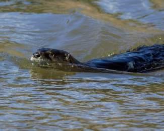 riverotter018-vdn-061814.jpg