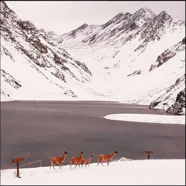 Guanacos Laguna del Inca